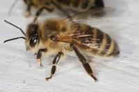 Adotta un'ape