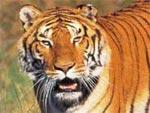 La Tigre nel Motore