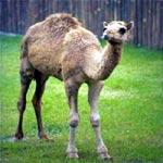 Il più nuovo dei New Media: il cammello