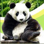 La vita del panda gigante è visibile online