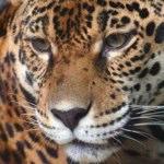 Il ruggito del leopardo